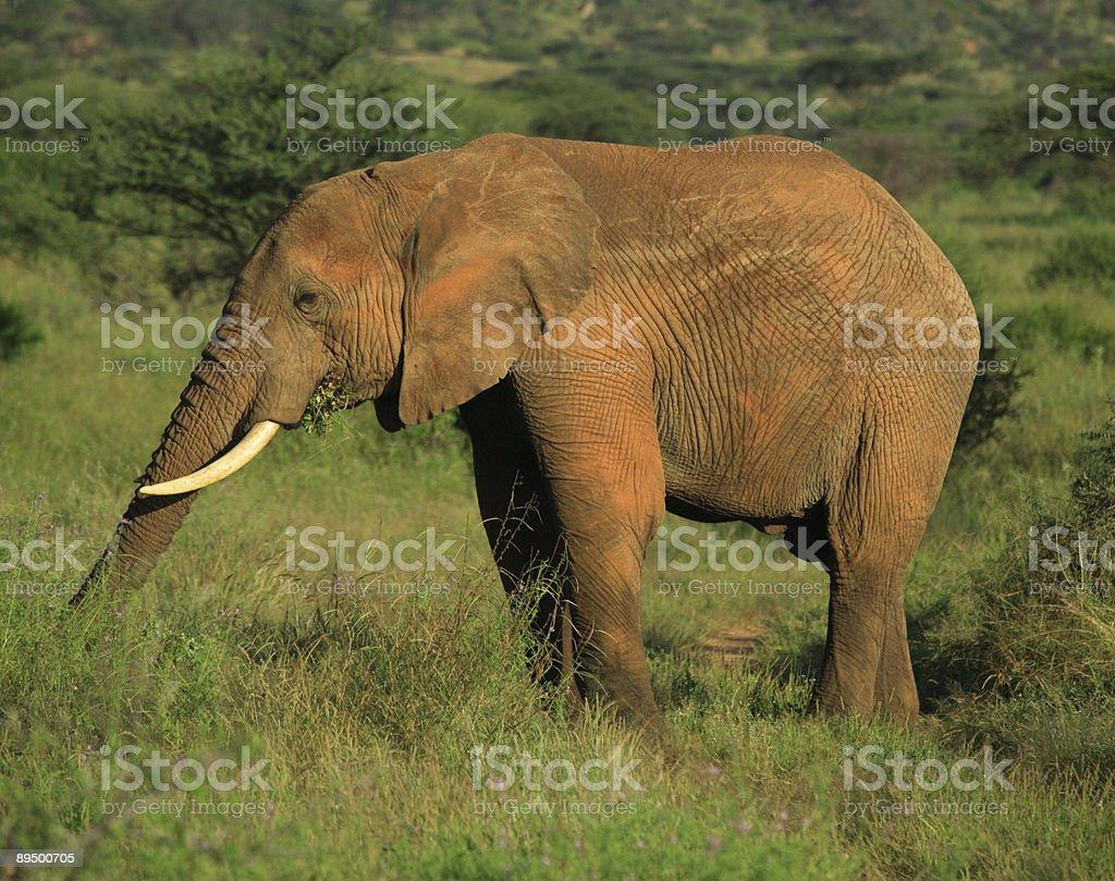 Słoń jedzenie zbiór zdjęć royalty-free