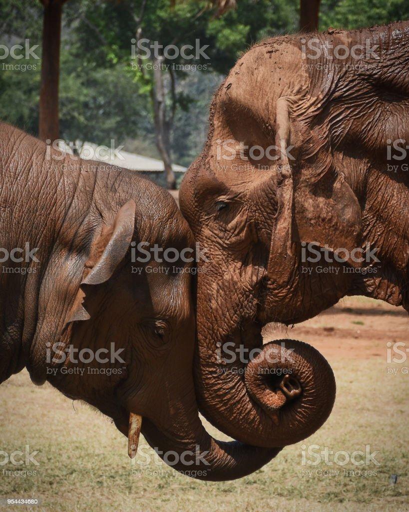 Elephant Embrace stock photo