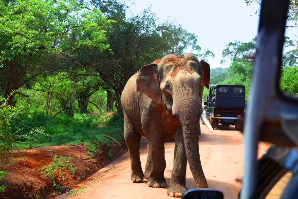Elephant encounter on road while on safari in Yala National Park Elephant encounter on road in front of safari vehicles in Yala National Park yala stock pictures, royalty-free photos & images