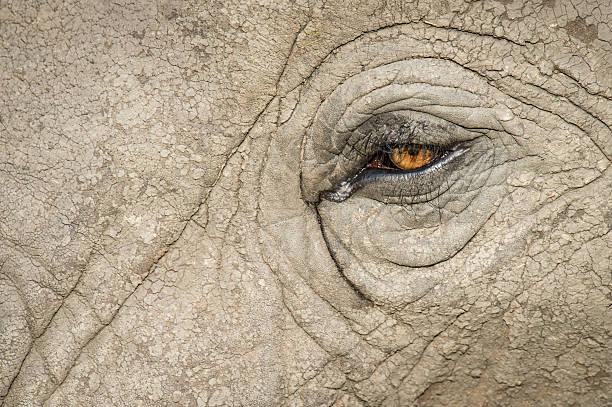 Elephant Eye closeup stock photo