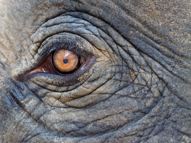 elephant eye in Koh Chang stock photo