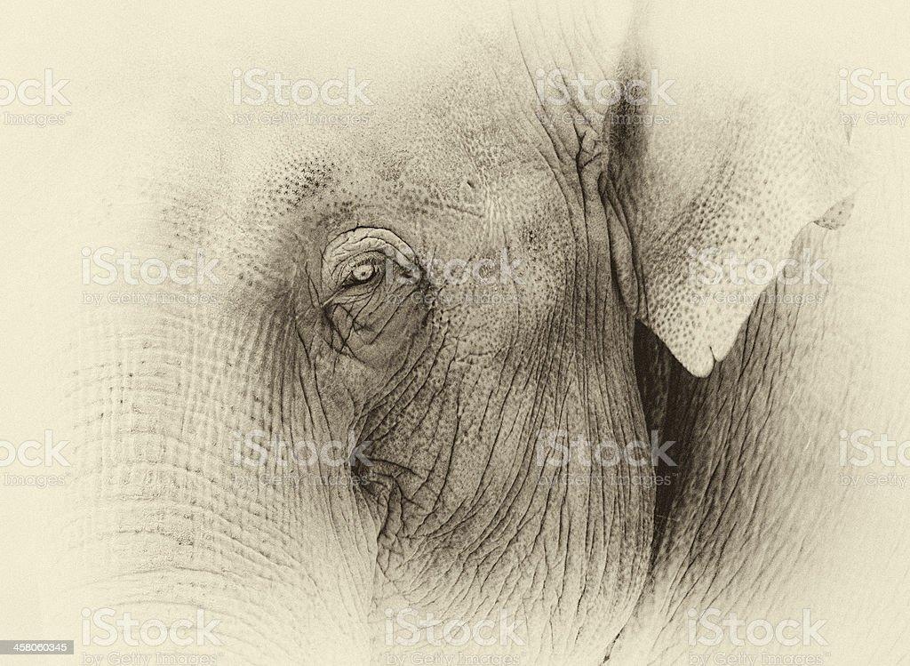 Elephant Eye in Sepia stock photo