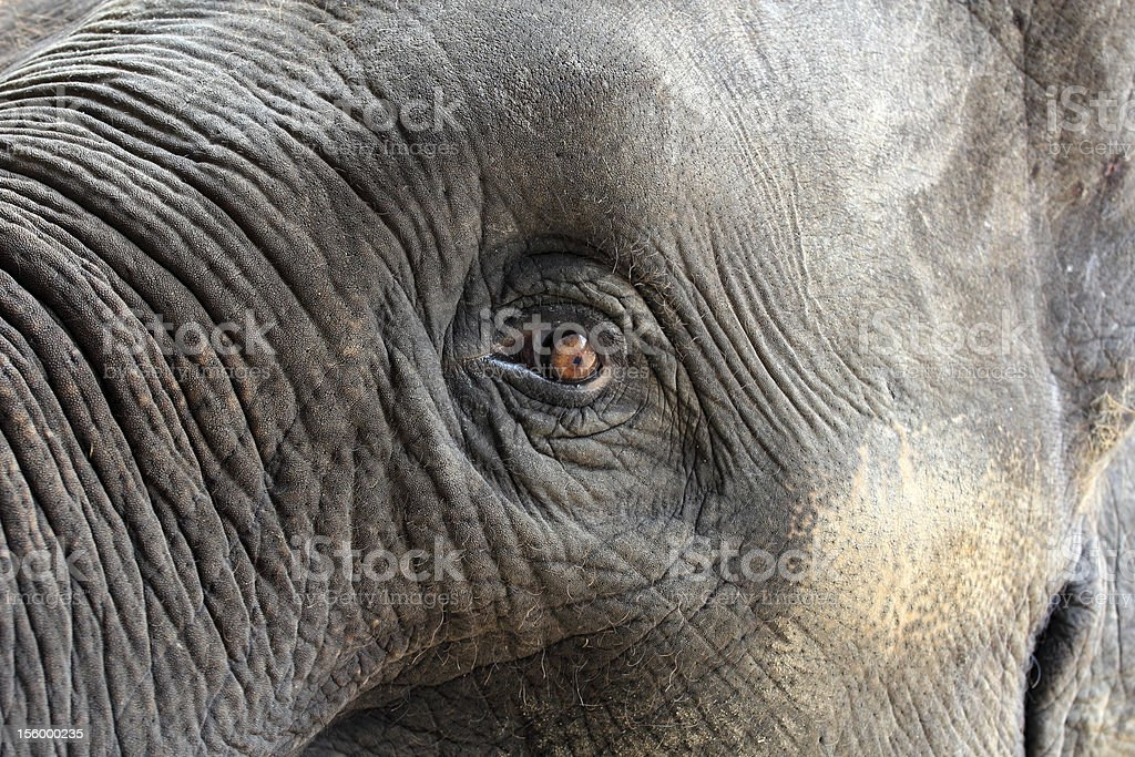 Elephant Eye royalty-free stock photo