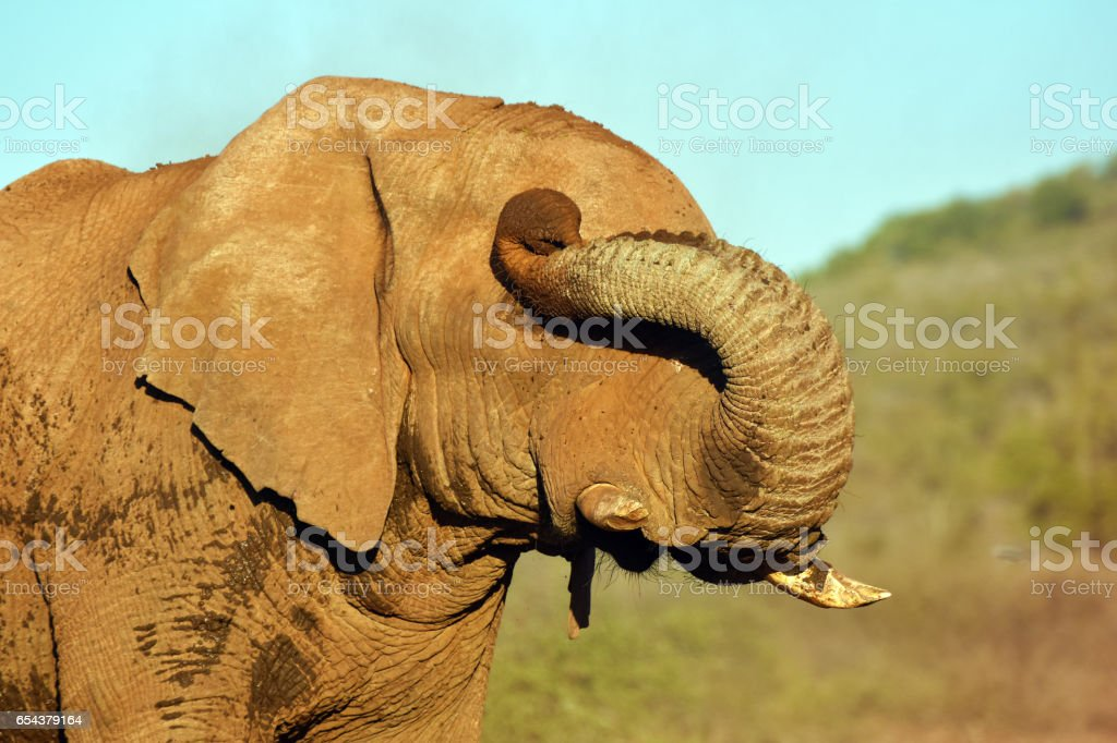 Elefanten Auge reiben – Foto