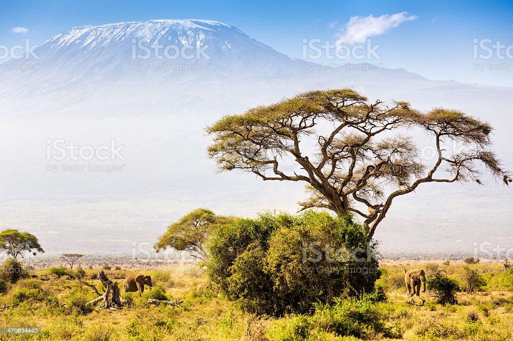 Elephant familiy and Mount Kilimanjaro with Acacia stock photo