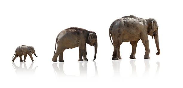 Elephant familiy in a row, isolated Elephant mother and two offsprings from her family walking after her, isolated on pure white, including slight reflection elephant calf stock pictures, royalty-free photos & images