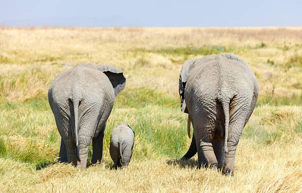 Elephant Family and Baby walking across Africa's Serengeti Savanna stock photo