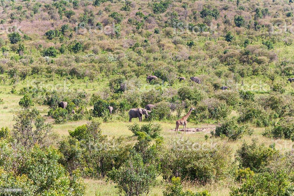 elephant family  and giraffe walking in the savanna stock photo
