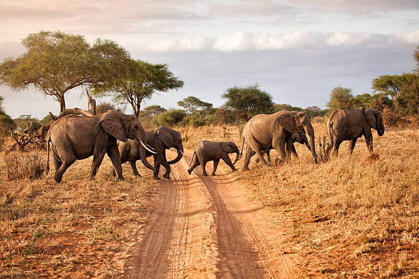 elephant family at dawn, africa - safari stock photos and pictures