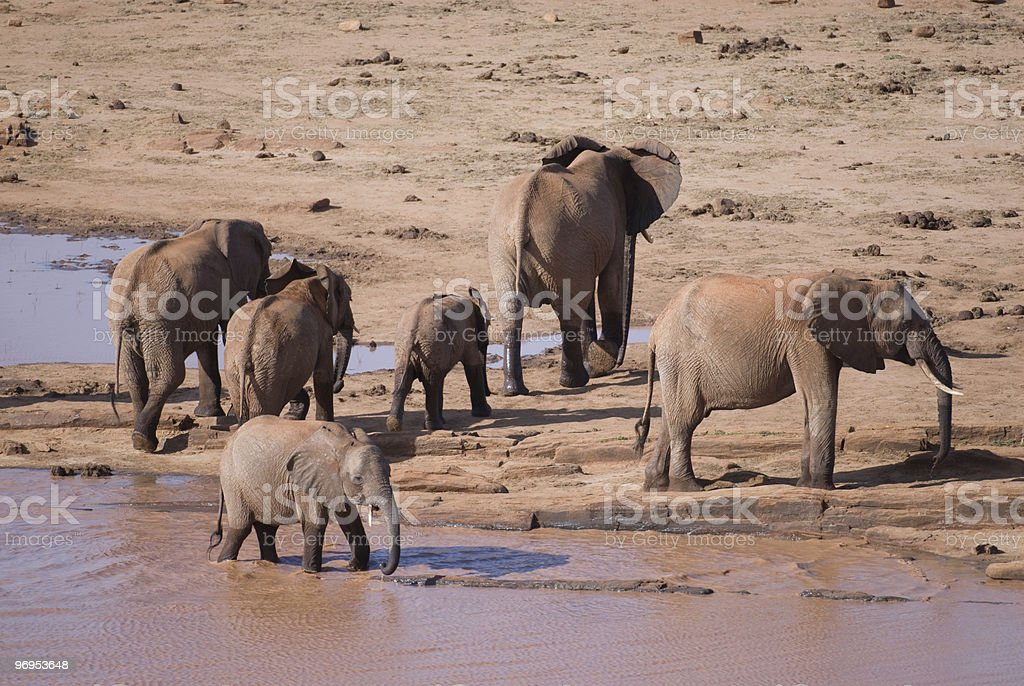Elephant (Loxodonta africana) Family at Water Hole, Kenya. royalty-free stock photo