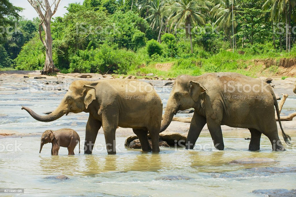 Elephant family cross river in Pinnawala, Sri Lanka. stock photo