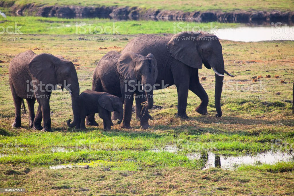 Elephant Family Grazing stock photo