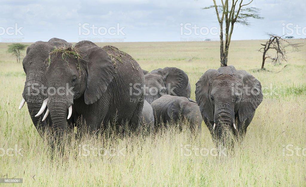 Elephant family Group royalty-free stock photo