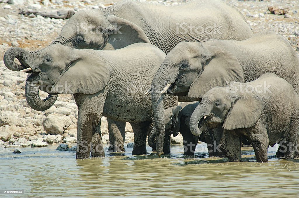 Elephant family in a water hole stock photo