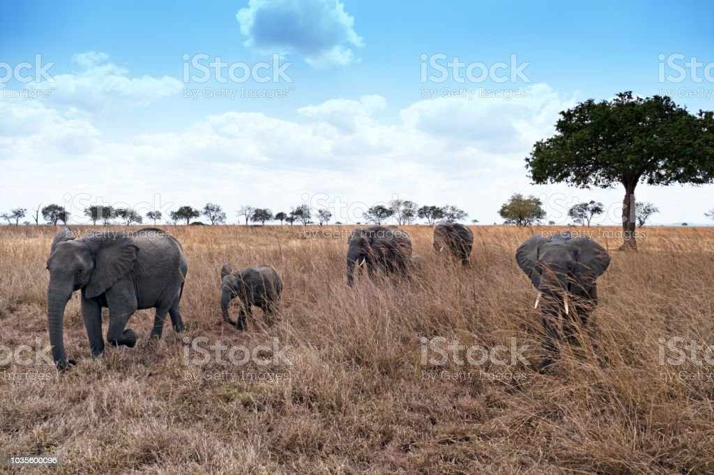 Elephant family in Mikumi National Park,Tanzania stock photo