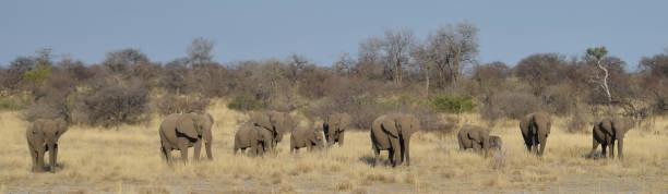 Elephant family in Namibia stock photo