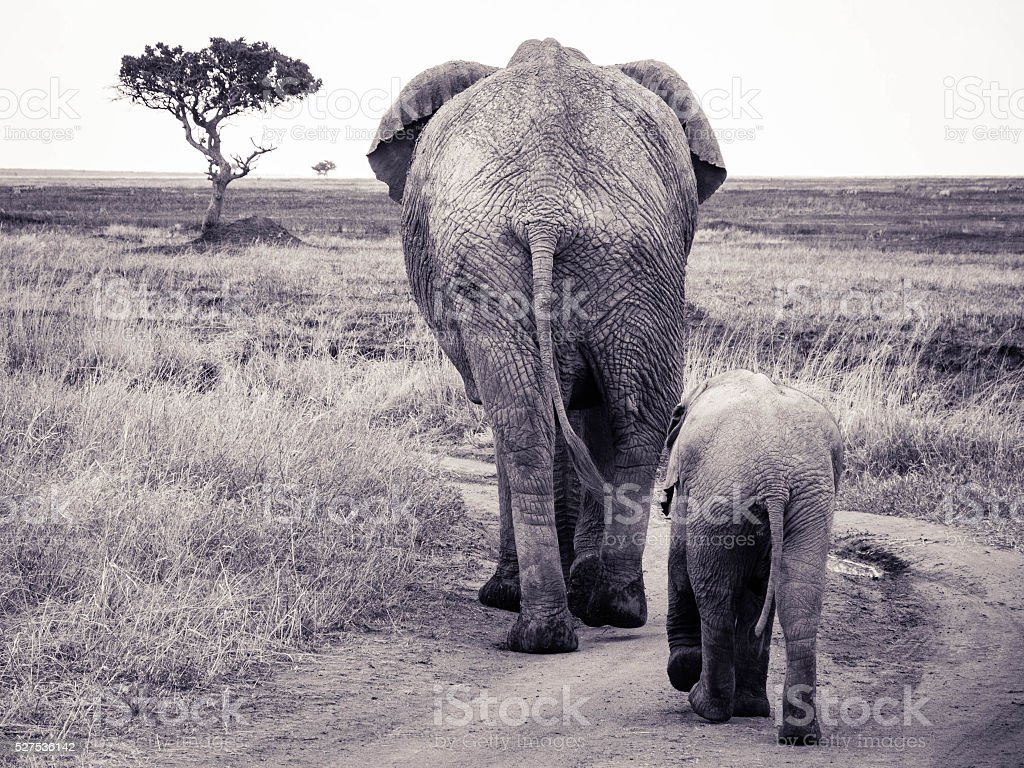 Elephant Family in Serengeti National Park stock photo