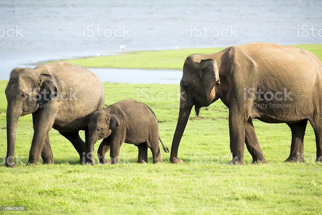 Elefanten Familie In Sri Lanka Stock-Fotografie und mehr Bilder von ...