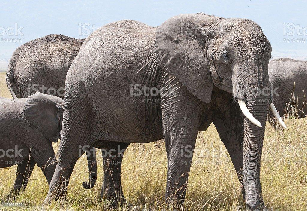 elephant family in the savannah stock photo