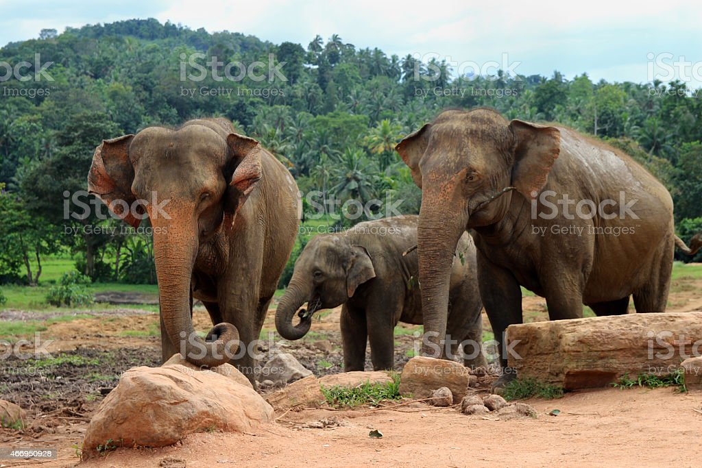 elephant family in the wild stock photo
