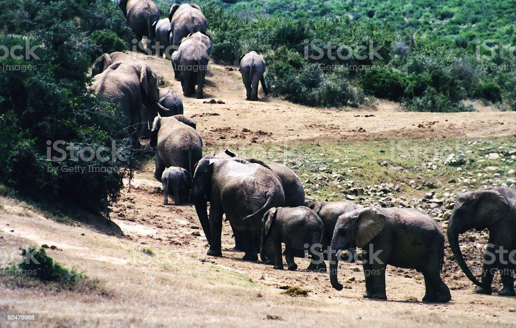 Elephant family leaving waterhole royalty-free stock photo