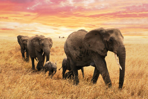 Elephant family on path in savanna in africa. Travel, wildlife and environment concept. Elephant family on path in savanna in africa. Travel, wildlife and environment concept. elephant calf stock pictures, royalty-free photos & images