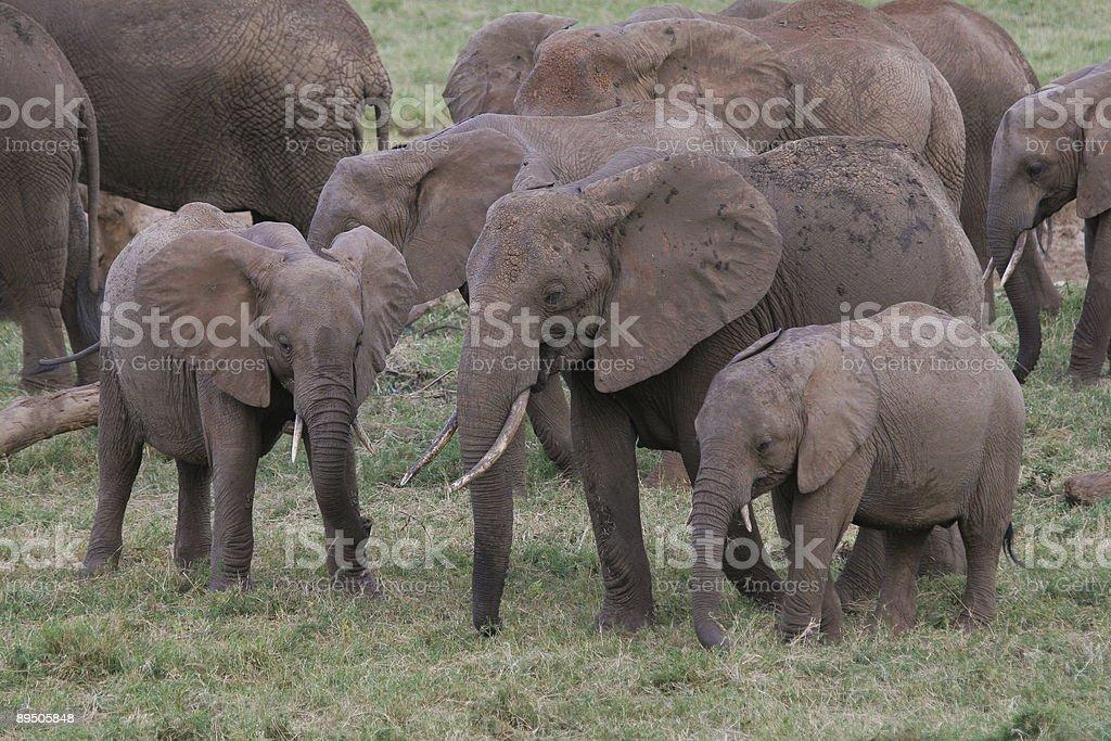 Famille d'éléphants photo libre de droits