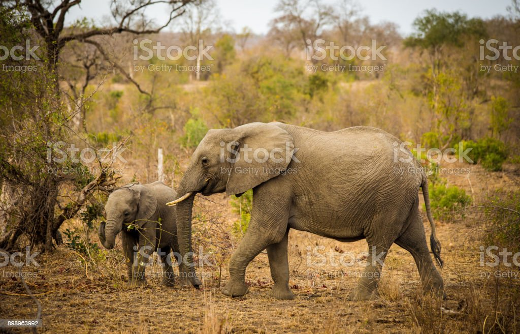 Elephant Family, South Africa stock photo