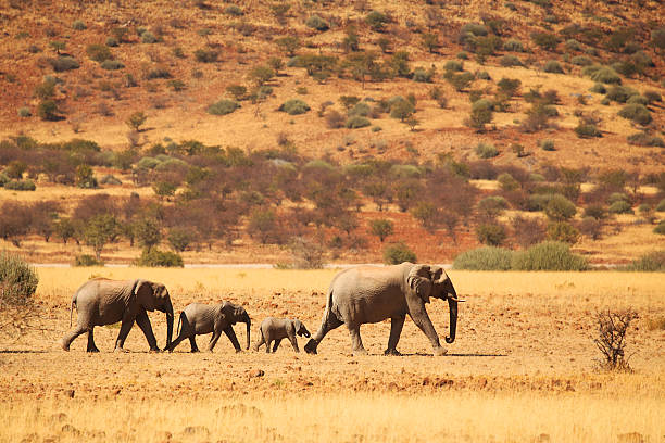 Elephant Family Walking in Namibian Desert stock photo