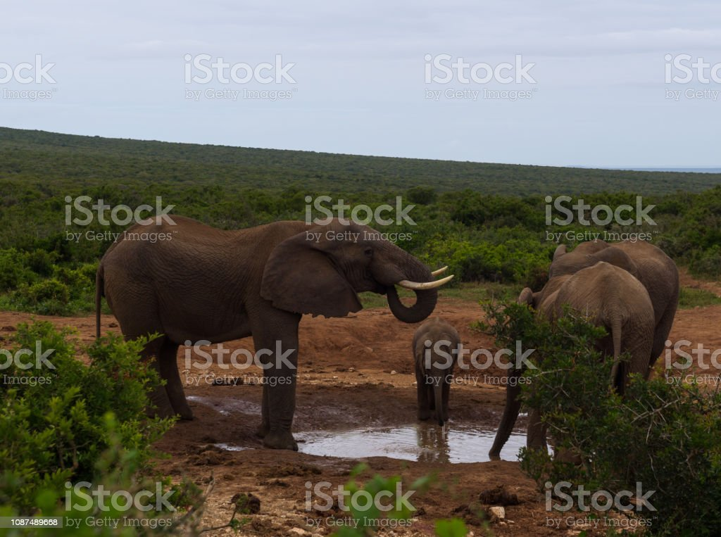 Elephant family with a small calf stopping at a waterhole for some drinking and bathing stock photo