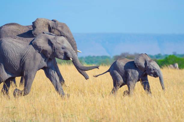 elefantenfamilie mit vater, mutter und kalb. - arten stock-fotos und bilder