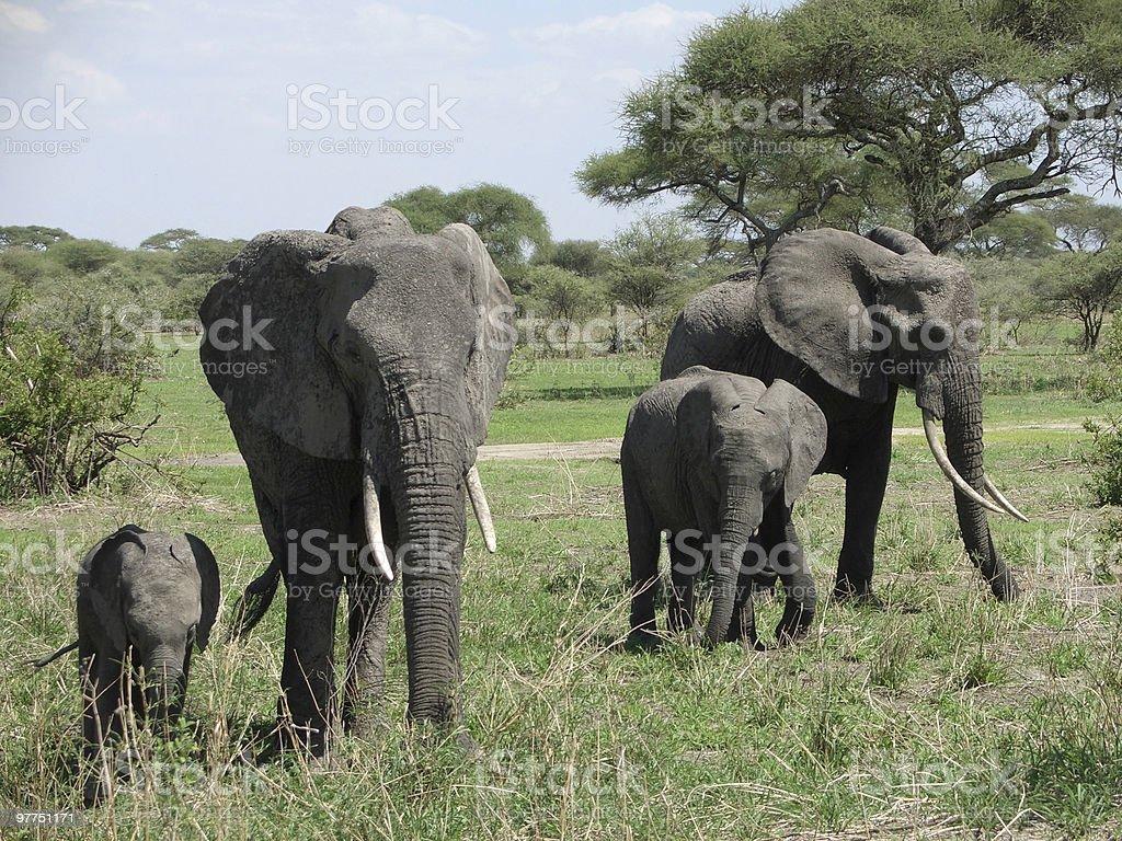 Elephant familyin Africa royalty-free stock photo