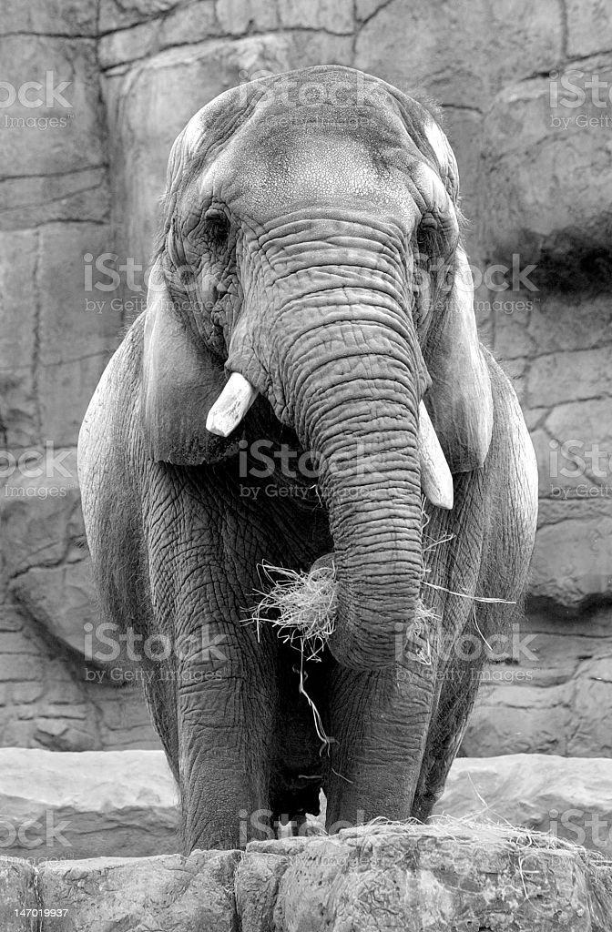 Elephant feeding Black and White stock photo