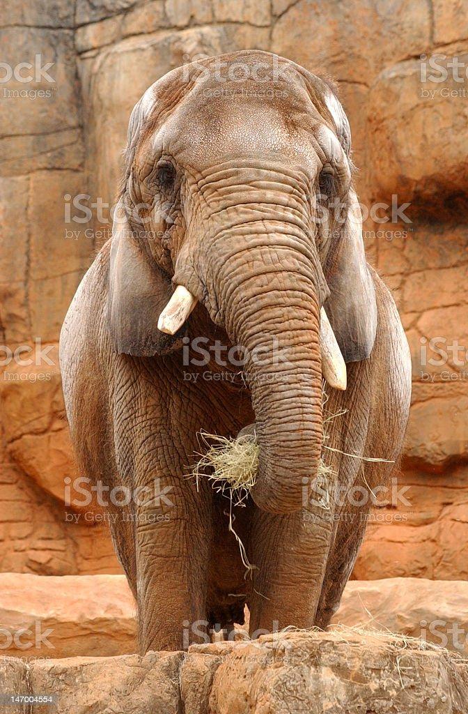 Elephant feeding stock photo