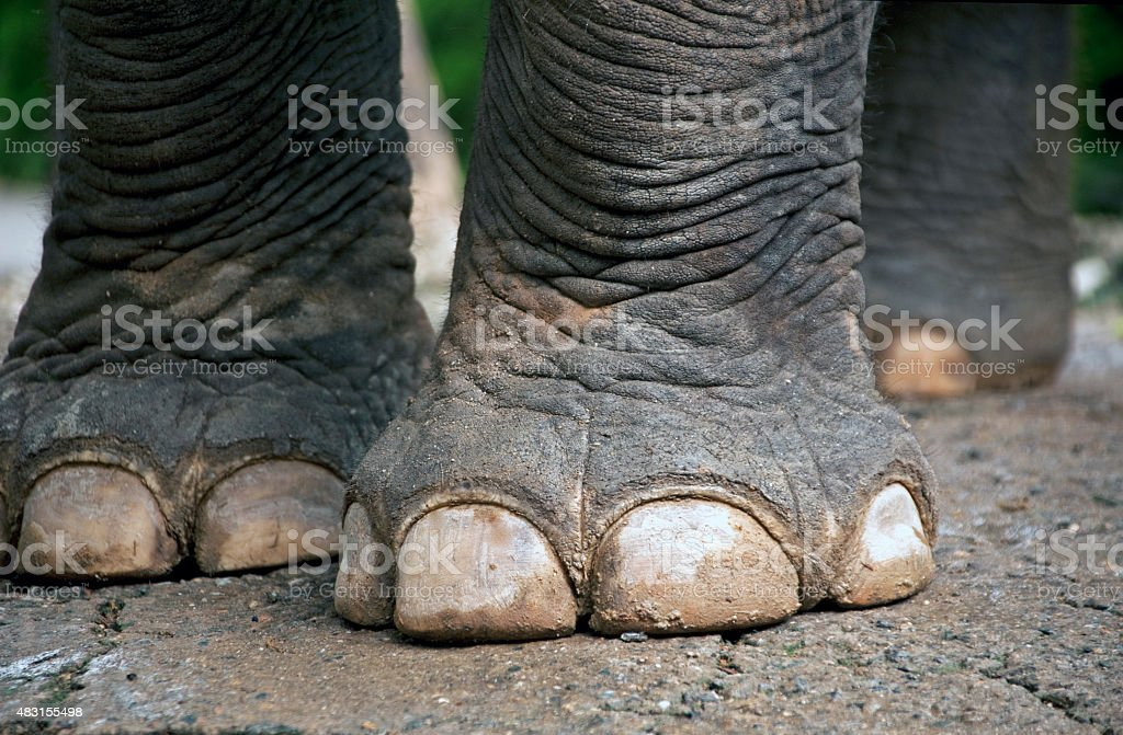 Elephant Feet On Ground Stock Photo & More Pictures of Animal | iStock
