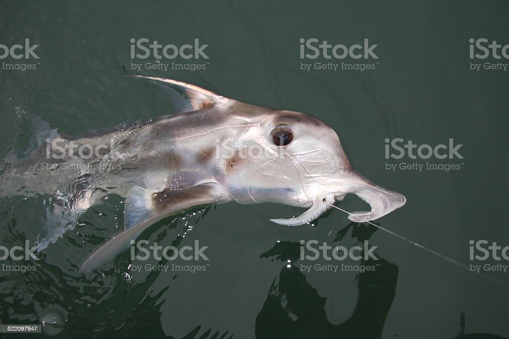 Elephant fish stock photo