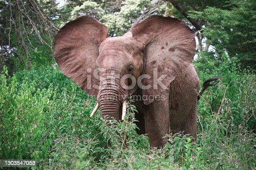 Elephant flapping ears in a high green bush