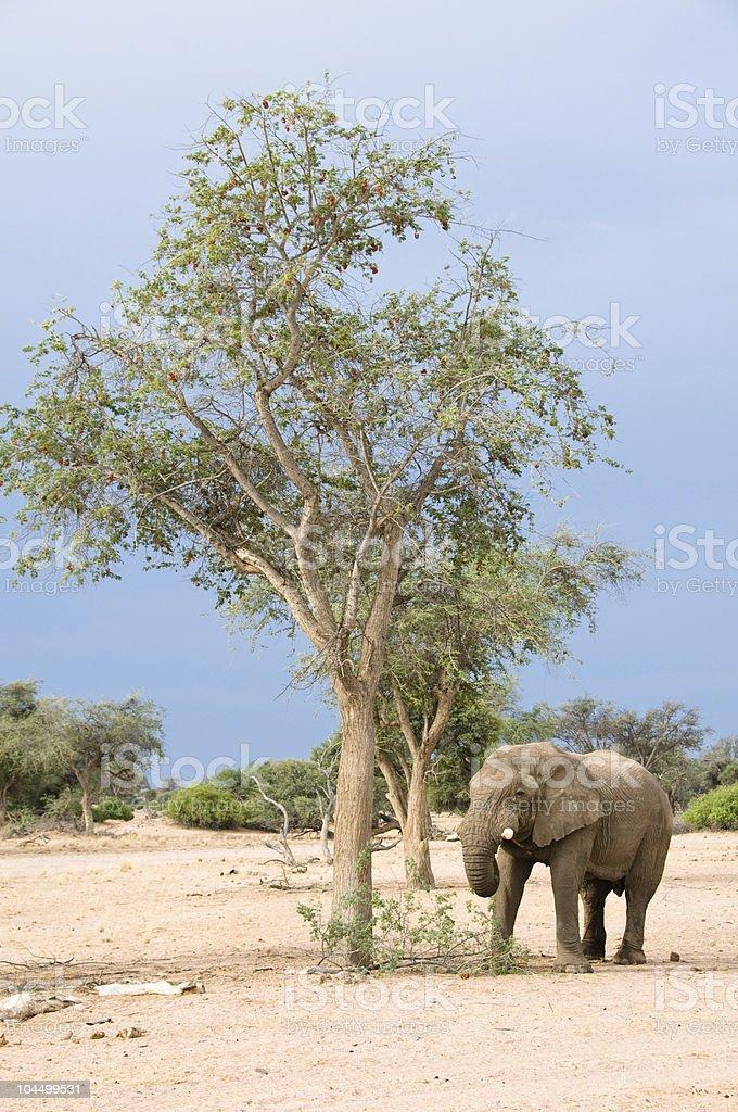 Elephant foraging by tree stock photo
