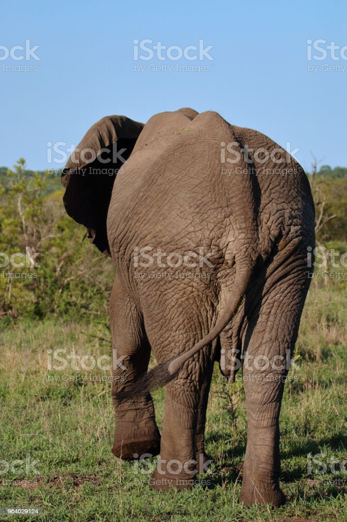 Elephant from Behind Walking Away - Royalty-free Adventure Stock Photo
