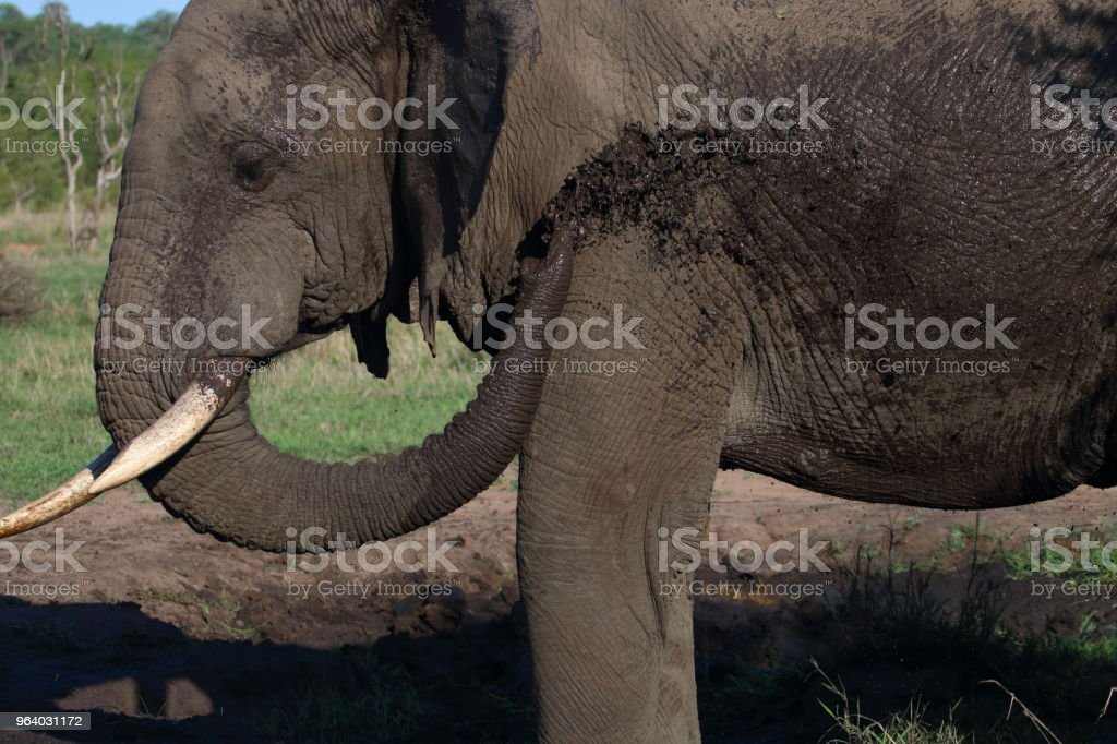 Elephant from Side taking Mud Bath - Royalty-free Adventure Stock Photo