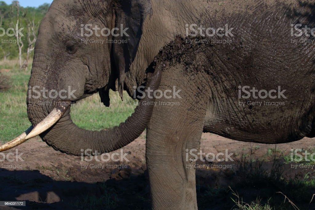 泥風呂側から象 - しぶきのロイヤリティフリーストックフォト