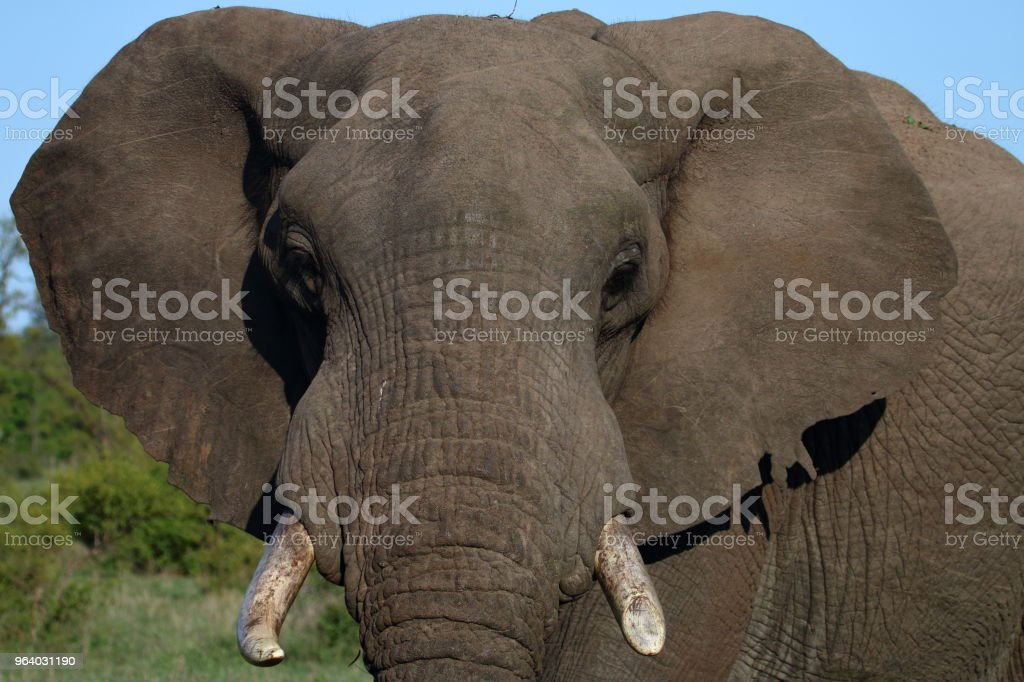 Elephant Full Face Head - Royalty-free Adventure Stock Photo