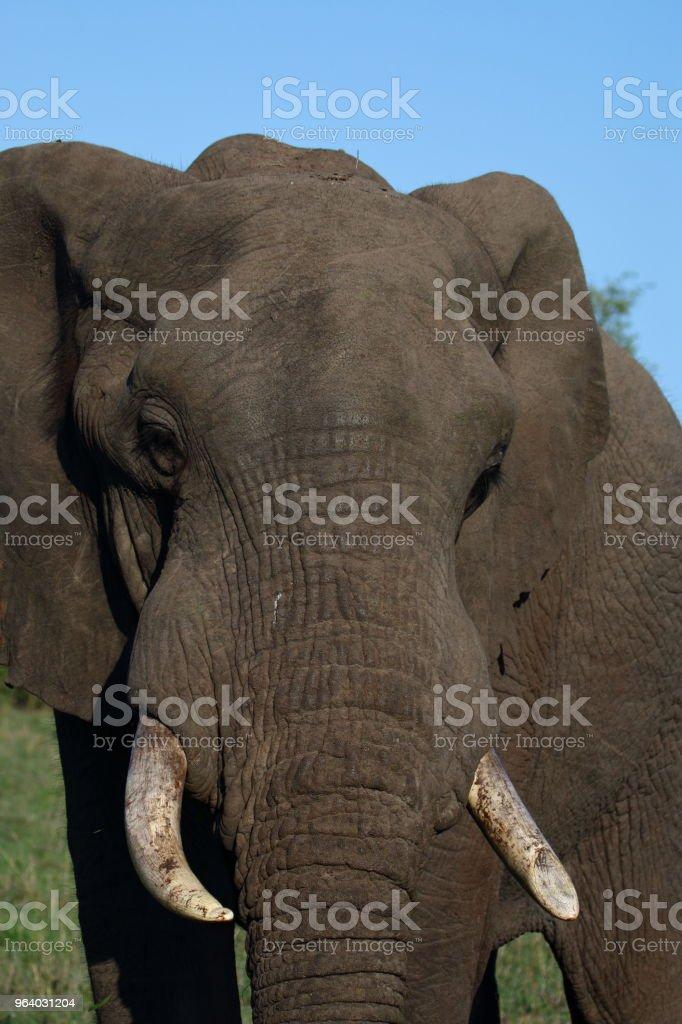 Elephant Full Face Head - Royalty-free Adventure Stock Photo