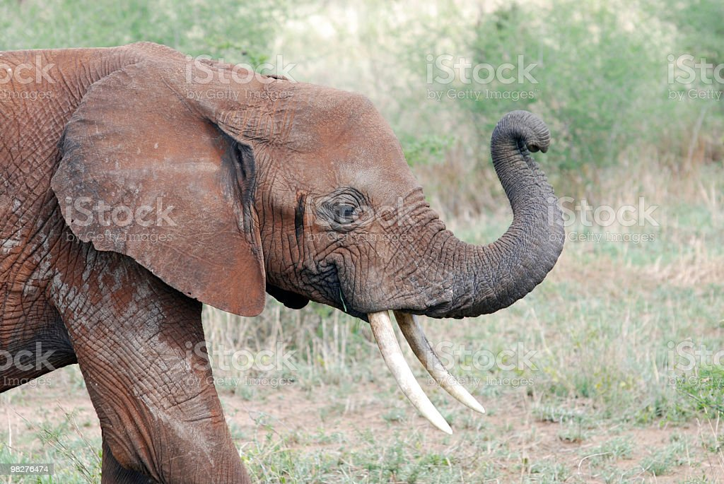 Elephant full of mud to protect from sun royalty-free stock photo