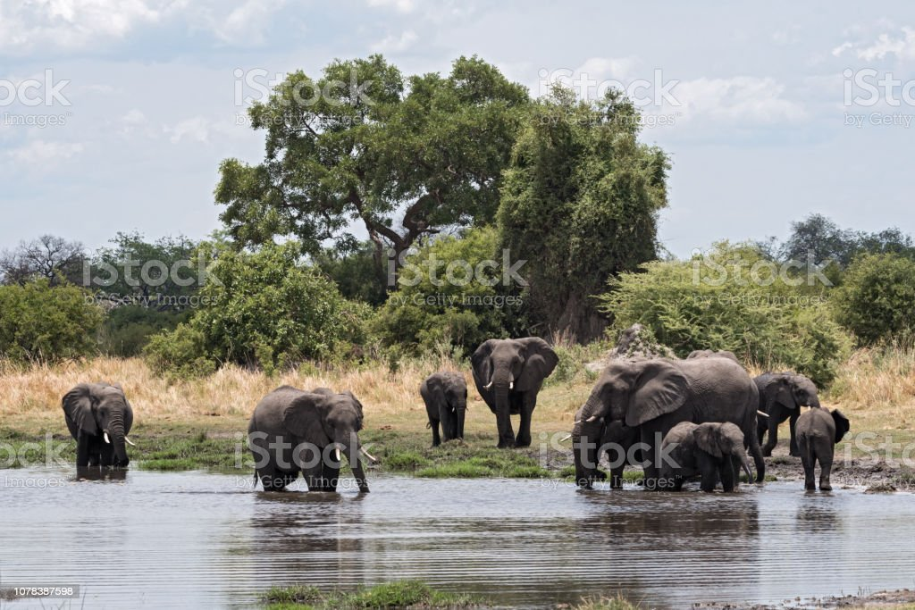 Elephant group taking bath and drinking at a waterhole in Chobe...