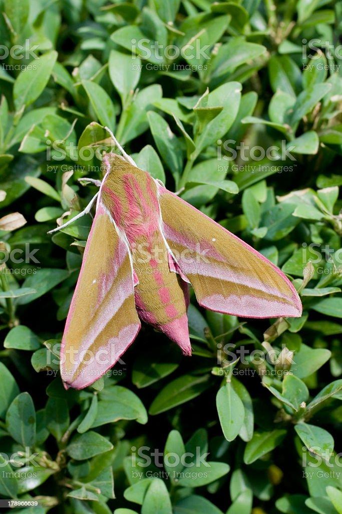 Elephant Hawk-moth (Deilephila elpenor) stock photo
