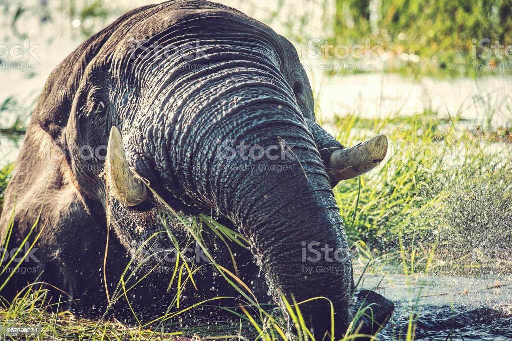 Elephant head and trunk showing hair stock photo