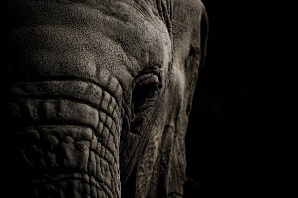 Elephant Head in Black and White stock photo