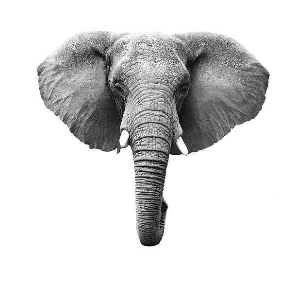 elephant head isolated - head stock photos and pictures