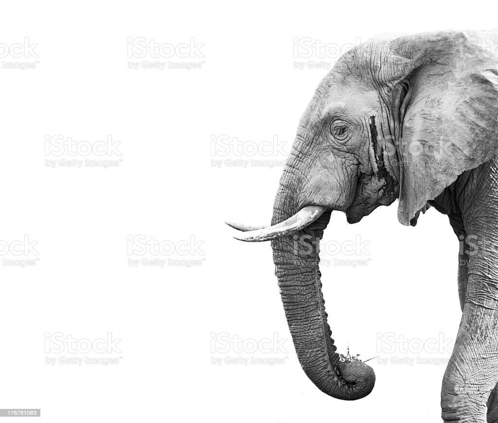 Elephant head profile on white background stock photo